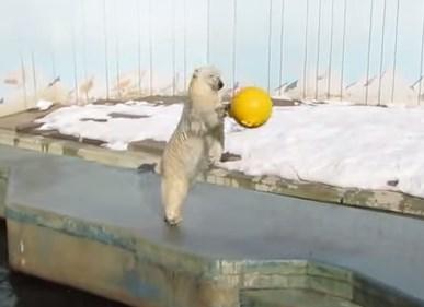 やたら元気な釧路動物園のホッキョクグマ