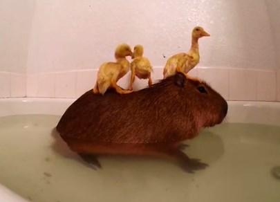 カピバラとアヒルの雛が一緒に風呂に入る映像