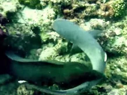 サメを襲うウツボの映像
