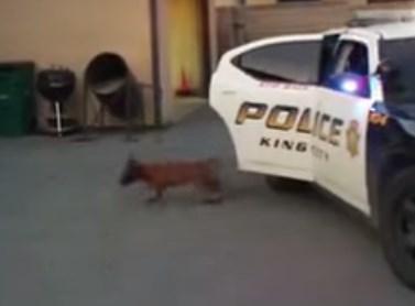 警察犬の訓練を受ける生後14週間のワンコ