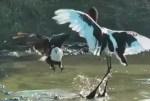 白頭鷲に魚を奪われるコウノトリ