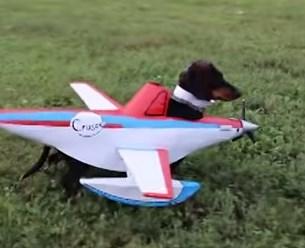 ダックスフンドの飛行機コスチューム、離陸準備OK