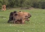 ハイエナがスクラムを組んでライオンに立ち向かう映像