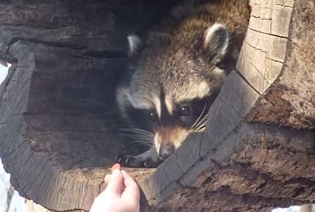 恐る恐る食べ物を手に取るアライグマ