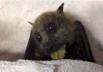 コウモリってこんなに可愛いんだ!コウモリが葡萄をモグモグ食べる映像