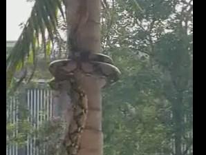 こうやって登るのか!ヘビの木登り方法
