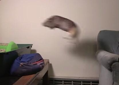 モルモットが記録的な大ジャンプ!