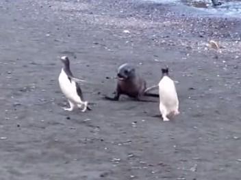 オットセイに追いかけられるペンギン
