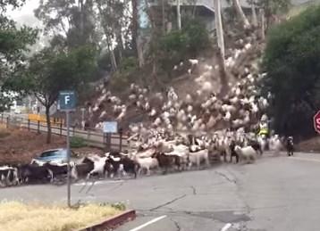 ヤギの群れが集団移動、まるでヌーの大群の大移動みたい