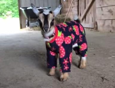 パジャマ姿のヤギの赤ちゃん