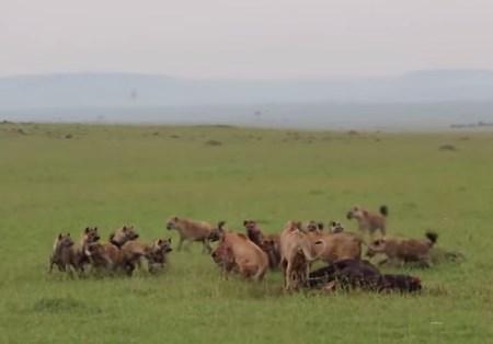 ライオンの群れ vs. ハイエナの群れ 壮絶なバトル