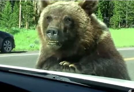 車の観光客におねだりするクマ