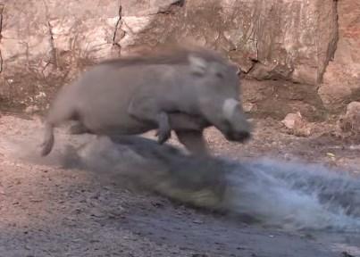 水を飲むイボイノシシとブッシュバックを襲うワニ