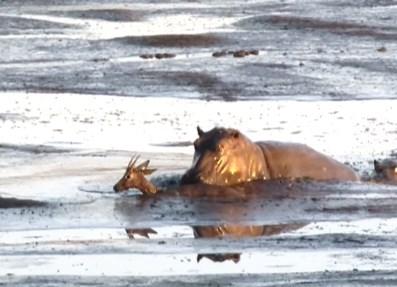 ライオンに追われたインパラ、沼地でカバに殺される