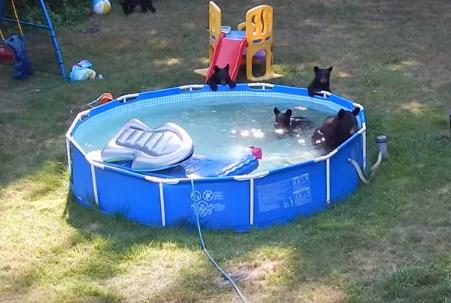 庭のプールにクマ一家が遊びに来た!