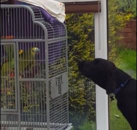 犬の吠え声を真似るオウム