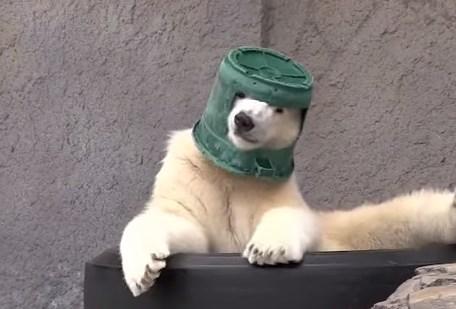 バケツヘルメットを被るホッキョクグマ