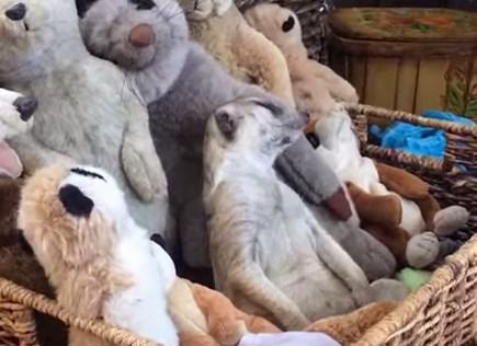 ぬいぐるみと一緒に眠るミーアキャットの映像