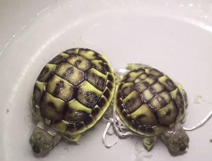 お腹がくっついて生まれた亀の赤ちゃんを分離手術