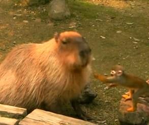 カピバラにちょっかいを出すお猿さんの映像