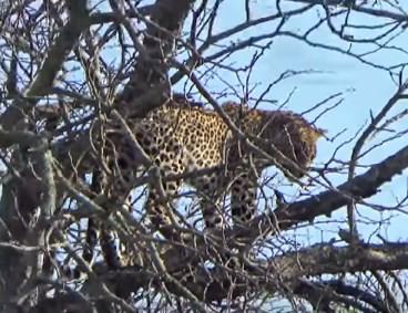 ヒョウ vs. ヒョウ、木の上のバトルで1頭が転落