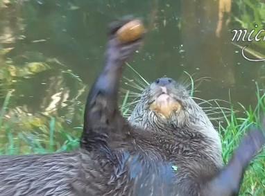 【必見】カワウソの見事なジャグリング映像