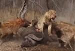 3頭のライオン vs. ハイエナの群れ、ハイエナの見事な作戦勝ち