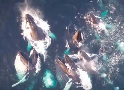 魚を食べるザトウクジラの群れをドローンで撮影