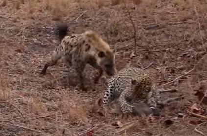ハイエナ vs. ヒョウ
