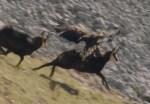 イヌワシ vs. シャモア|高画質のイヌワシの狩りの映像