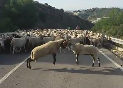 群れで移動中に決闘を始める2頭の羊