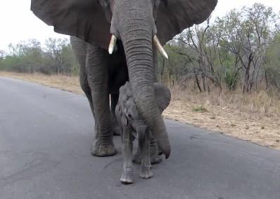 「人に近づたらダメよ」と赤ちゃんを教育する母ゾウ