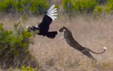 ハゲワシ vs. ヒョウ