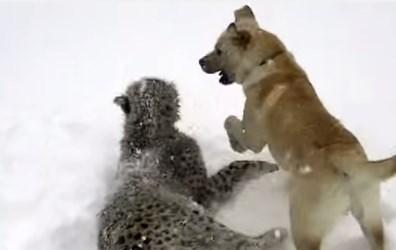 チーターワンコが仲良く雪遊び