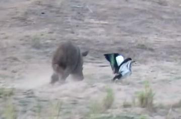 鳥を追いかけて遊ぶサイの赤ちゃん