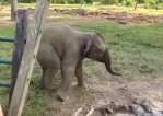 象の赤ちゃんがヤギを目撃して叫びながら逃げ去る映像
