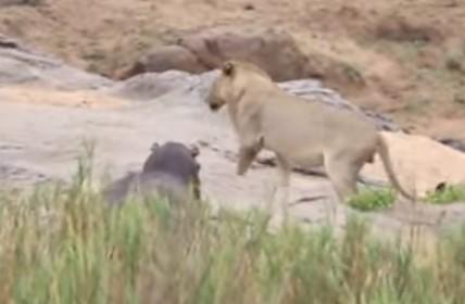 単独行動のカバを襲うか躊躇う3頭のライオン