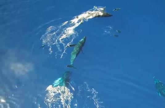ハワイ沖でドローンが撮影したザトウクジラの高画質映像