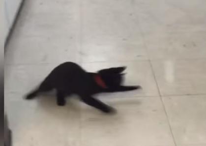 ピンポン球を追いかける黒猫の映像