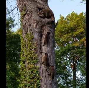 木の上の巣に帰るアライグマ一家