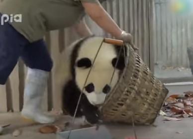 掃除の邪魔をする2頭のパンダの子供