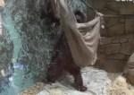 自分でハンモックを設置して横たわるオランウータン