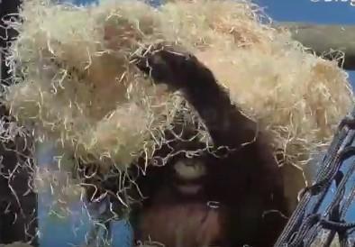 木の削りくずを頭からかぶるオランウータン