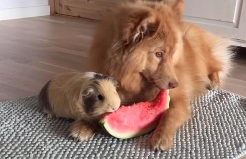 ワンコとモルモットが仲良くスイカを食べる映像