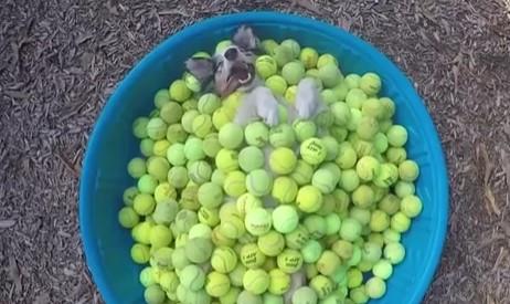 大好きなボールに埋もれて昼寝するワンコ