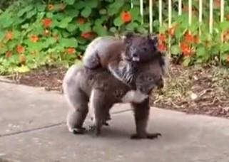 子供をおんぶして歩道を歩くコアラ