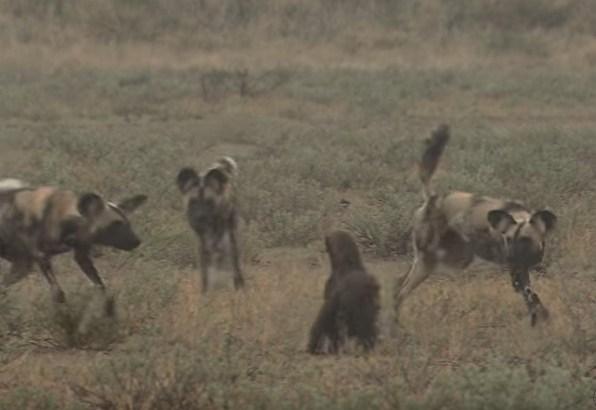 ラーテル vs. 3頭のリカオン