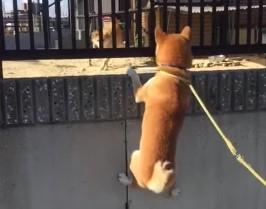 友達ワンコの家に遊びに来た柴犬のスーパージャンプ