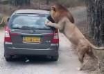サファリパークのライオンが乗用車をがぶり