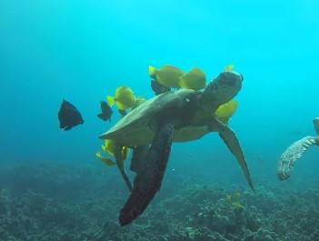 魚に甲羅を掃除してもらうウミガメ